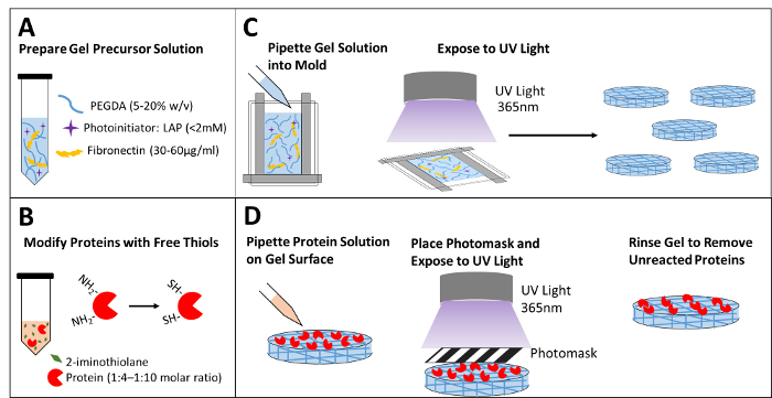 Patterning Bioactive Proteins or Peptides on Hydrogel Using