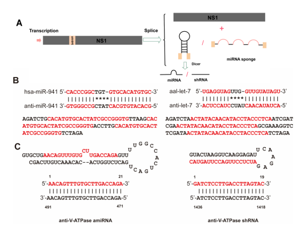 Use of a Recombinant Mosquito Densovirus As a Gene Delivery