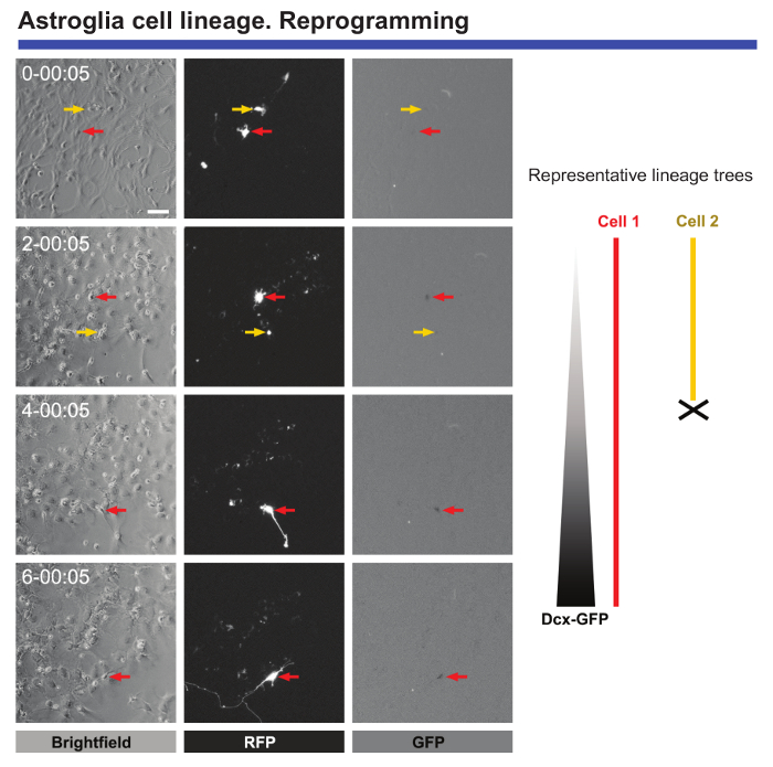 Live Imaging Followed by Single Cell Tracking to Monitor