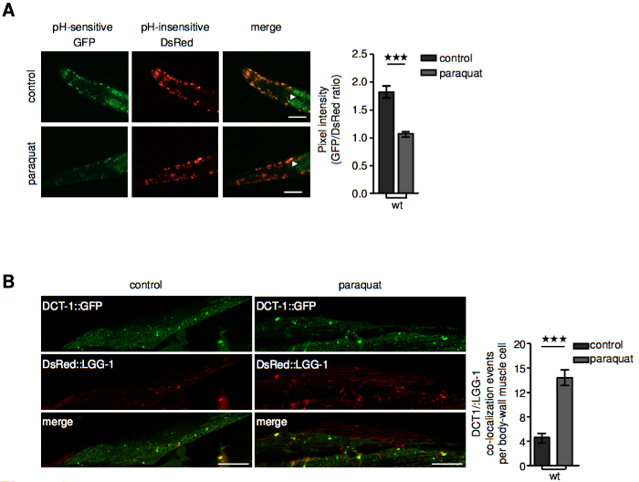 In Vitro and In Vivo Detection of Mitophagy in Human Cells