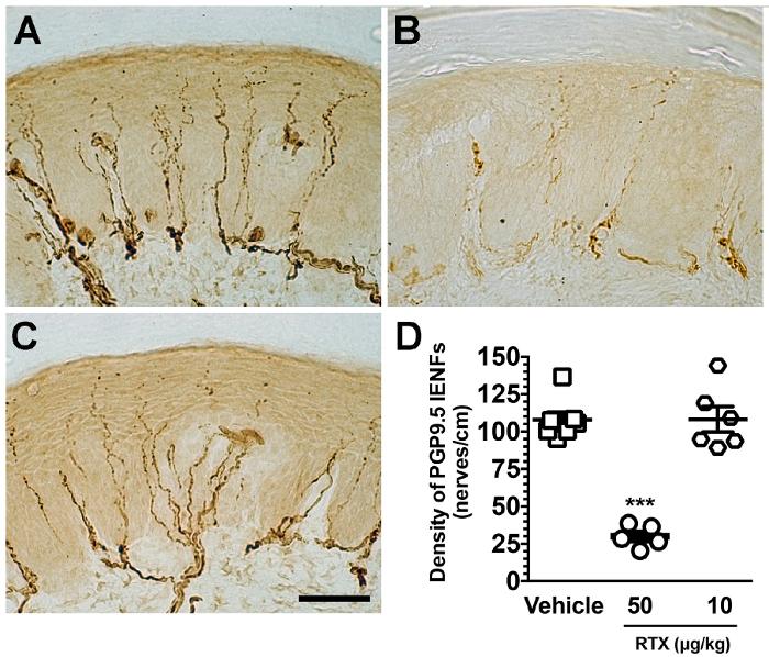 Establishing a Mouse Model of a Pure Small Fiber Neuropathy