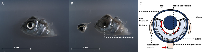 Studying Diabetes Through the Eyes of a Fish