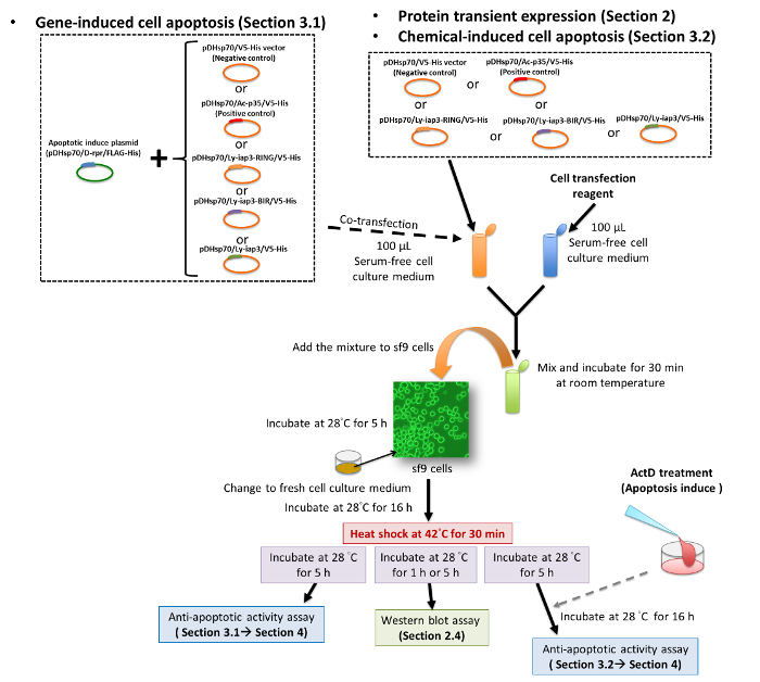 Transient Expression of Foreign Genes in Insect Cells (sf9