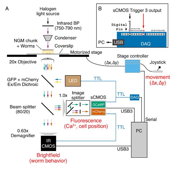 Ratiometric Calcium Imaging of Individual Neurons in