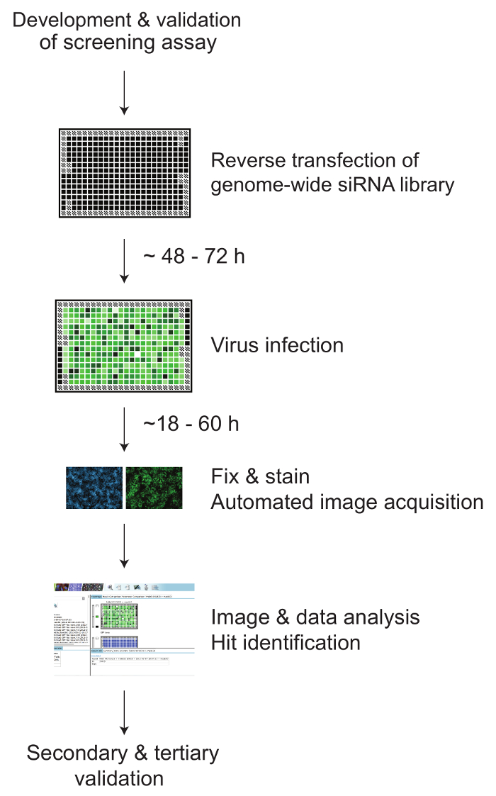 Genome Wide Rnai Screening To Identify Host Factors That Modulate