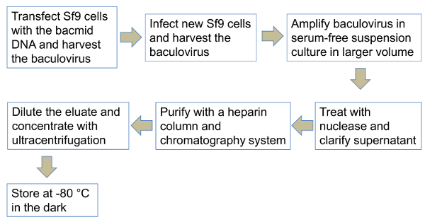 Production and Purification of Baculovirus for Gene Therapy