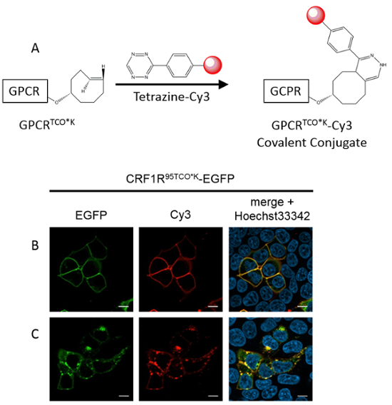 Optimizing the Genetic Incorporation of Chemical Probes into