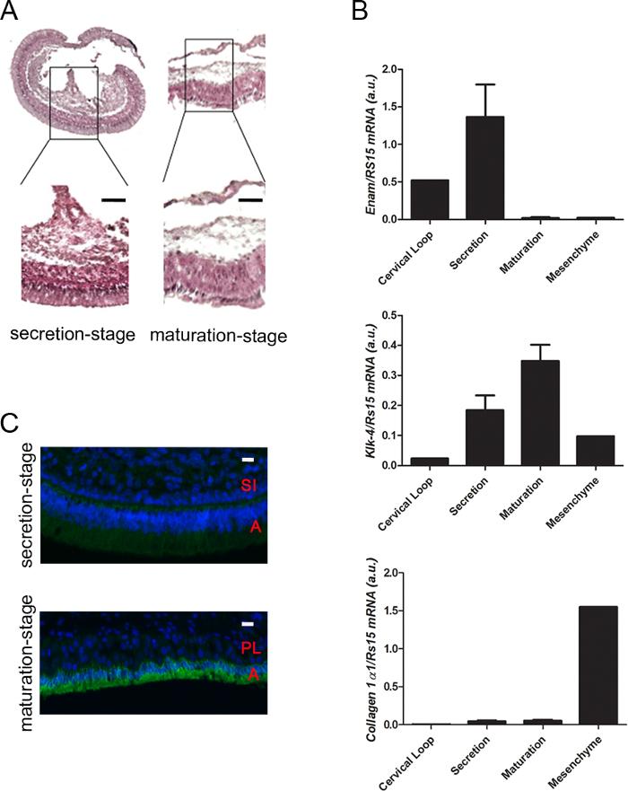 Micro Dissection Of Enamel Organ From Mandibular Incisor Of Rats