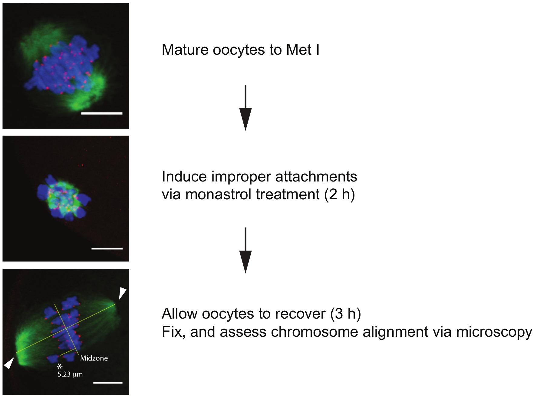 assess functionality sperm oocytes Mammalian to