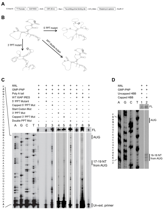 Toeprinting Analysis of Translation Initiation Complex