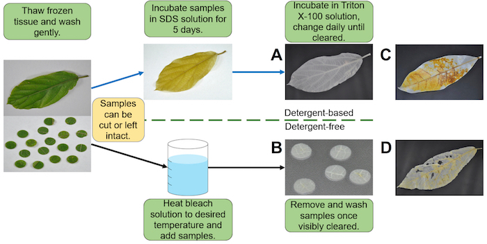 Two Methods For Decellularization Of Plant Tissues For