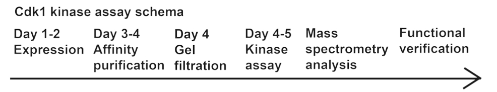 Identification Of Cyclin Dependent Kinase 1 Specific