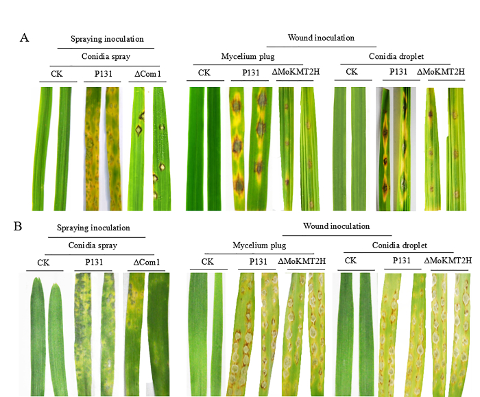 The Plant Infection Test: Spray and Wound-Mediated Inoculation with