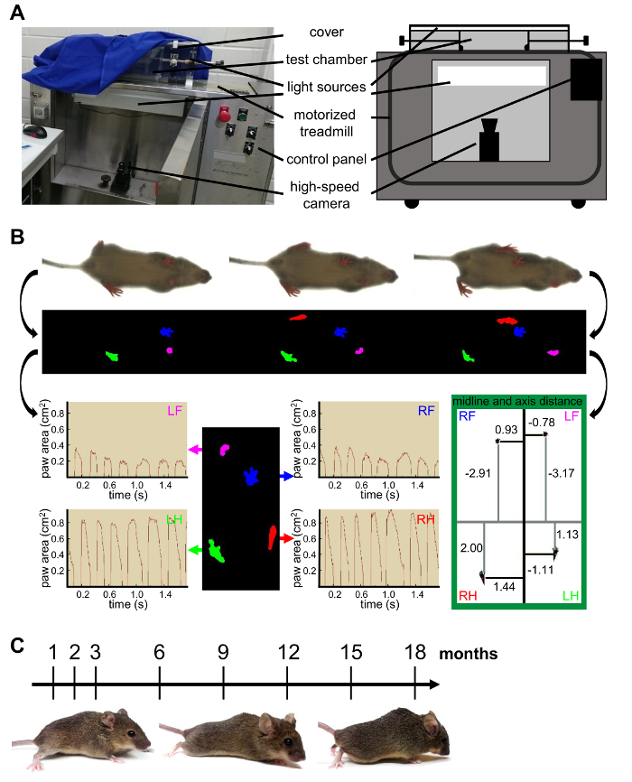 Gait Analysis Of Age Dependent Motor Impairments In Mice With
