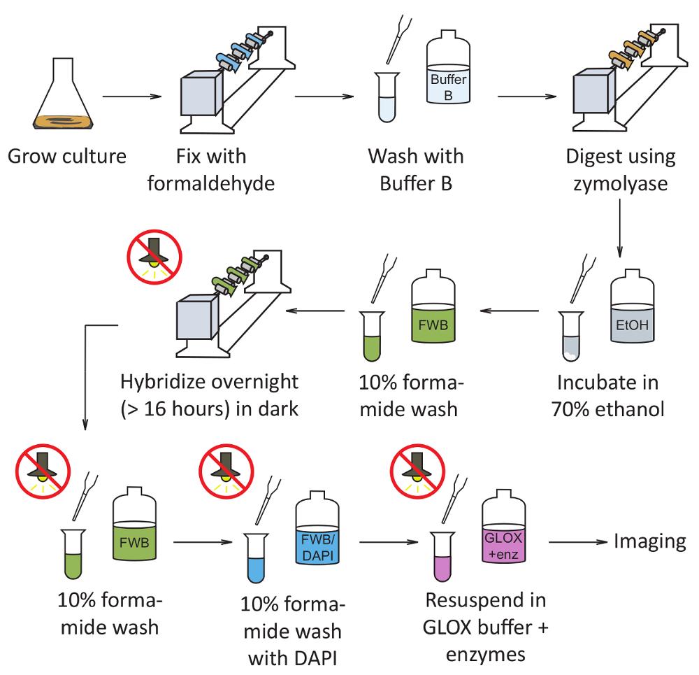 Single Molecule Fluorescence In Situ Hybridization (smFISH