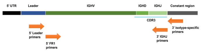 Immunoglobulin Gene Sequence Analysis In Chronic Lymphocytic