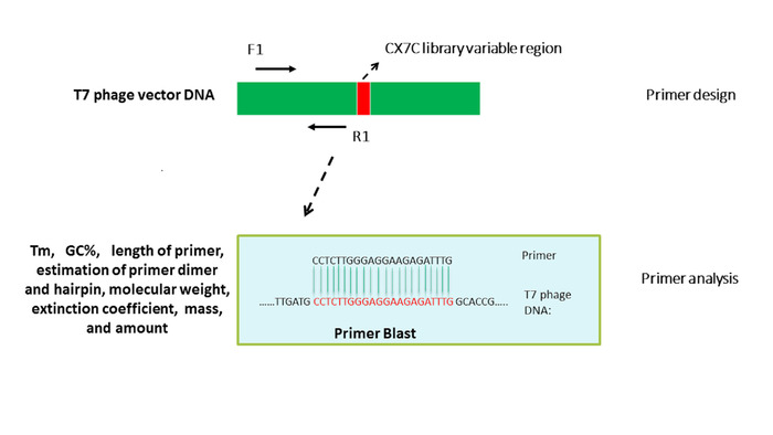 Quantitative PCR of T7 Bacteriophage from Biopanning | Protocol