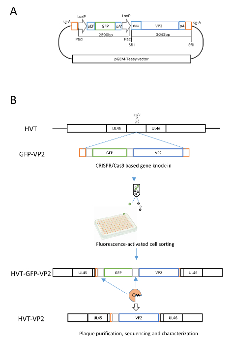 Generating Recombinant Avian Herpesvirus Vectors with CRISPR