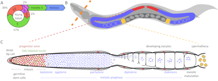 C Elegans Cell Lineage Wiring Diagram