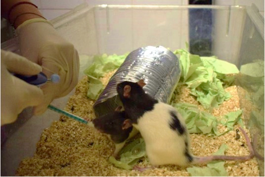 Using Clicker Training and Social Observation to Teach Rats