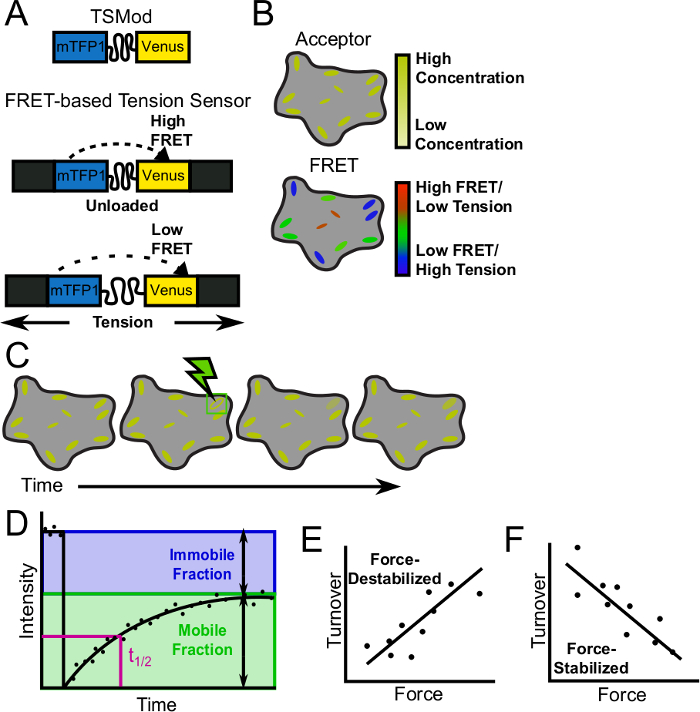 Measurement of Force-Sensitive Protein Dynamics in Living Cells