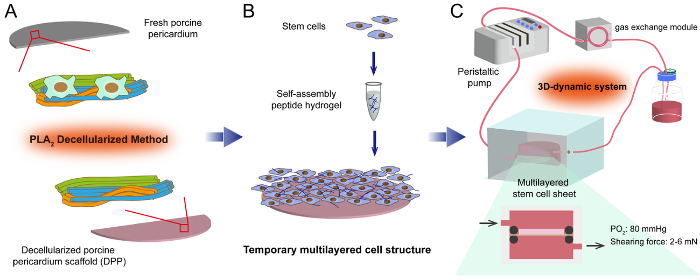 Construction of a Multilayered Mesenchymal Stem Cell Sheet with a 3D