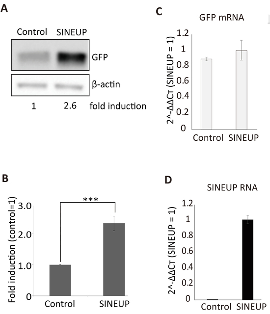 Cell Based Assays Of Sineup Non Coding Rnas That Can Specifically