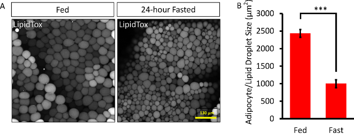 Visualization Of 3d White Adipose Tissue Structure Using Whole Mount