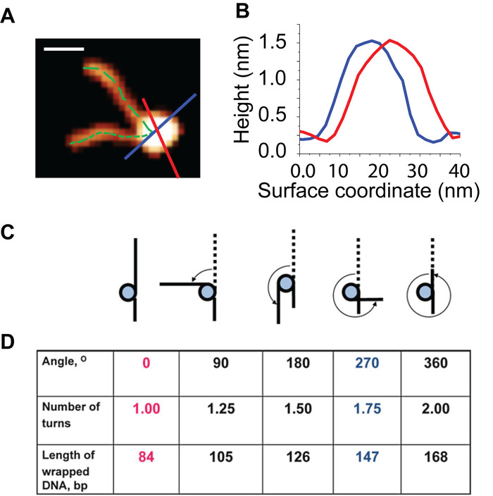 Probing The Structure And Dynamics Of Nucleosomes Using Atomic Force