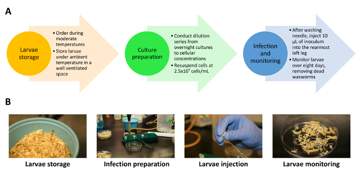The Galleria mellonella Waxworm Infection Model for