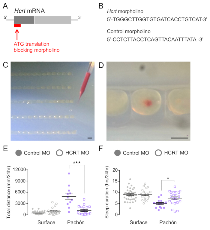 Manipulation of Gene Function in Mexican Cavefish | Protocol