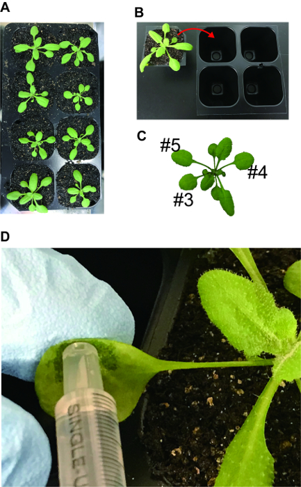 A Versatile Method for Mounting Arabidopsis Leaves for