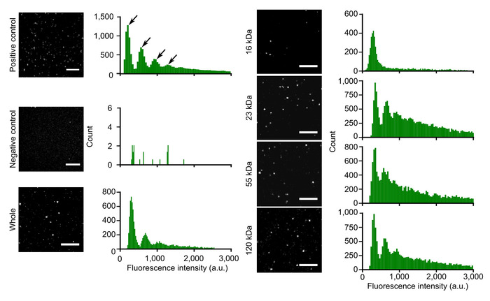 Proteome-wide Quantification of Labeling Homogeneity at the Single