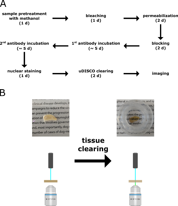 High-Resolution 3D Imaging of Rabies Virus Infection in Solvent