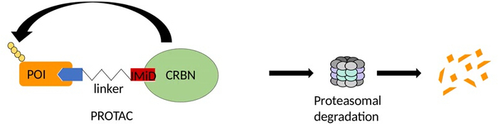 Chemical Inactivation of the E3 Ubiquitin Ligase Cereblon by