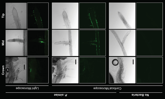 Monitoring Bacterial Colonization and Maintenance on