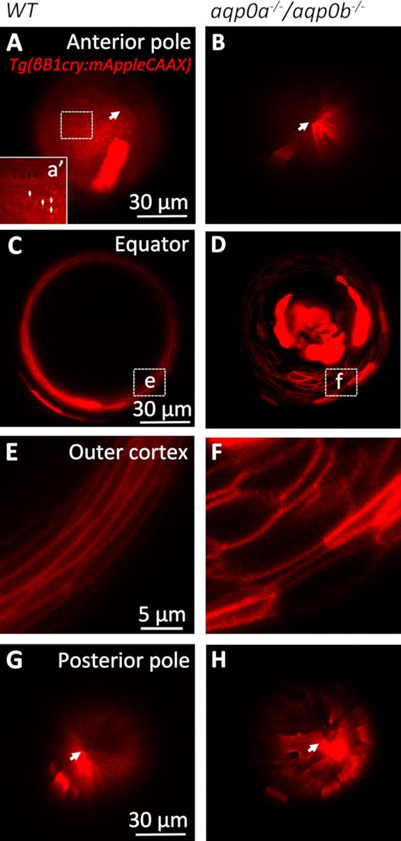 3bf751cf6 Figura 4 : Morfologia da lente embrionária in vivo. Imagens ao vivo de  lentes anestesiadas 3 DPF de mosaico F0 injetadas TG (βB1cry: mAppleCAAX)  revelam ...