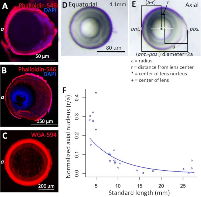 221f45381 Figura 7: Centralização do núcleo da lente zebrafish. Os embriões fixos e  crioprotegidos (a) e as lentes (B, c) foram crio-seccionados axialmente e  ...