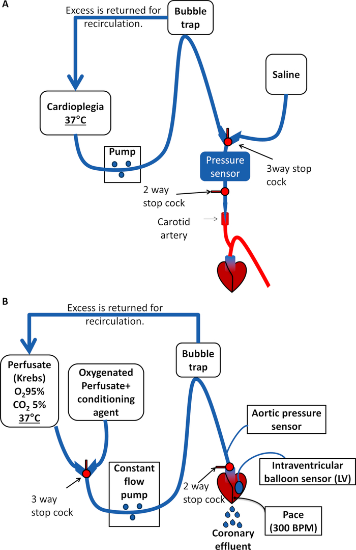 Pre-clinical Model of Cardiac Donation after Circulatory