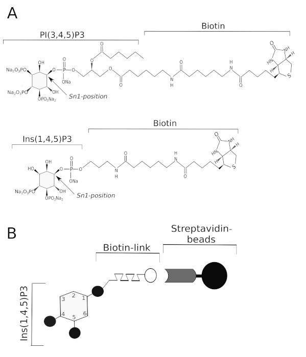 Identification of Inositol Phosphate or Phosphoinositide Interacting