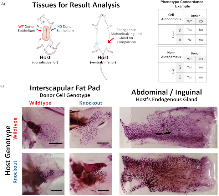 inguinal mammary fat pad