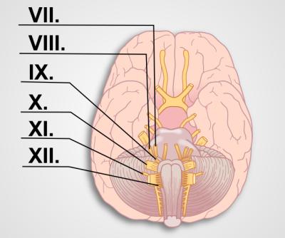 Cranial Nerves Exam II (VII-XII) | Protocol