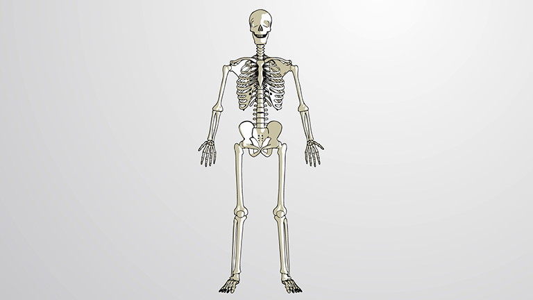 What is the Skeletal System?