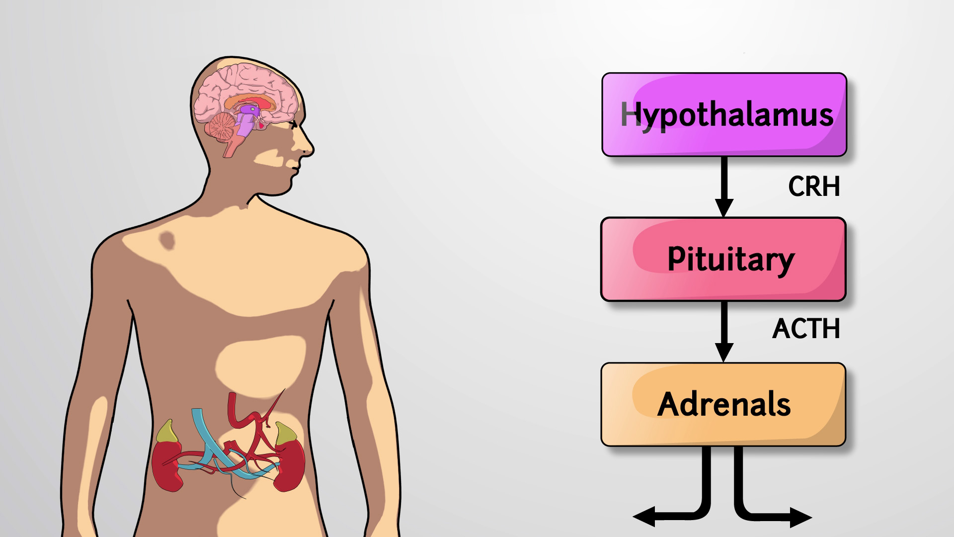 Hypothalamic-Pituitary Axis
