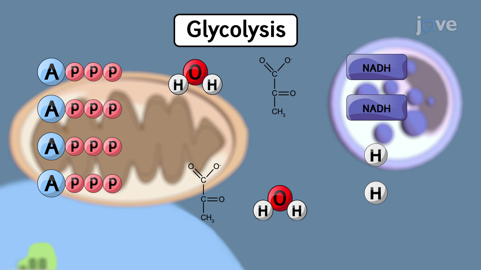 Outcomes of Glycolysis