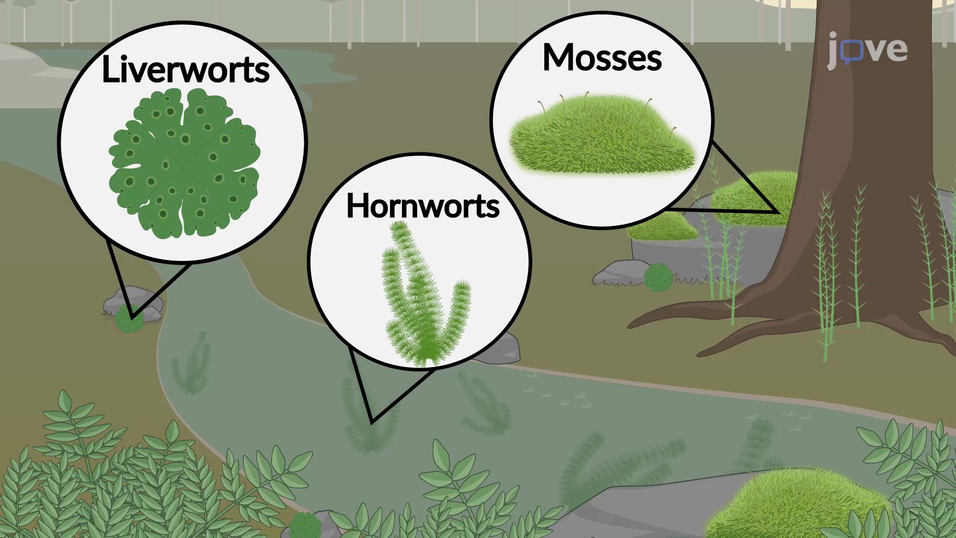 Non-vascular Seedless Plants