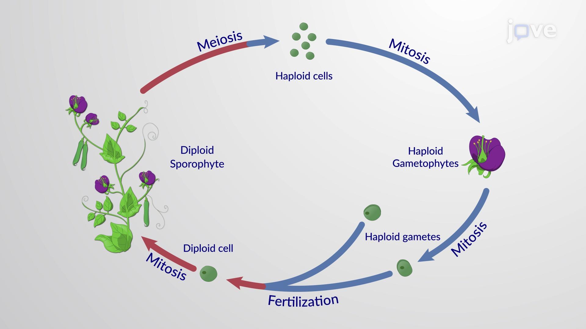 The Angiosperm Life Cycle