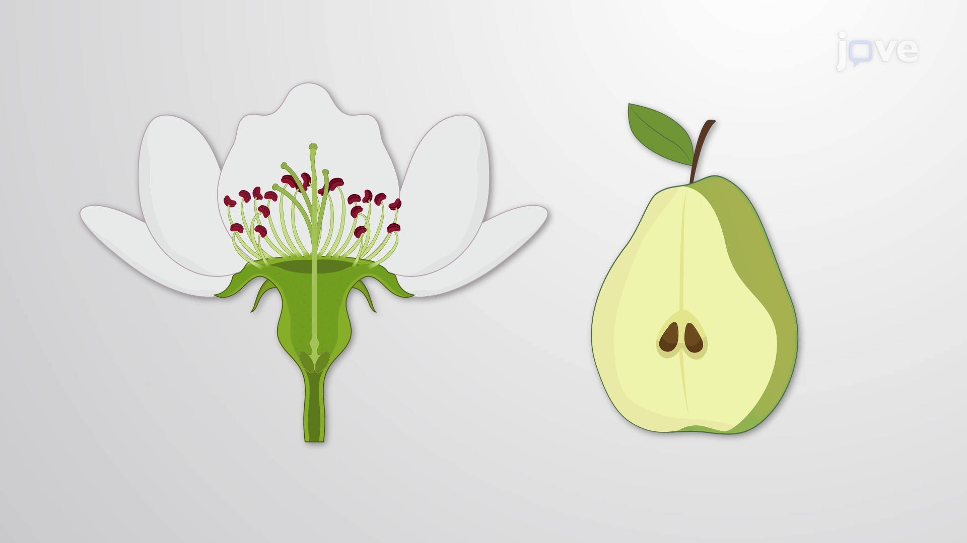 Fruit Development, Structure, and Function