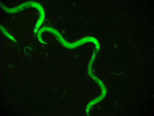 An Introduction to <em>Caenorhabditis elegans</em> thumbnail
