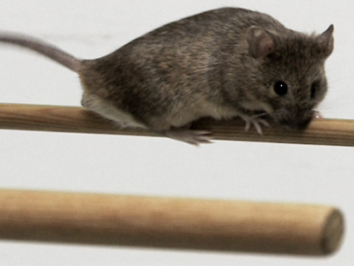An Introduction to the Laboratory Mouse: <i>Mus musculus</i> thumbnail
